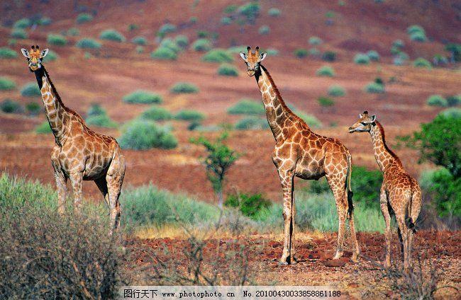 稀有动物 长颈鹿 动物