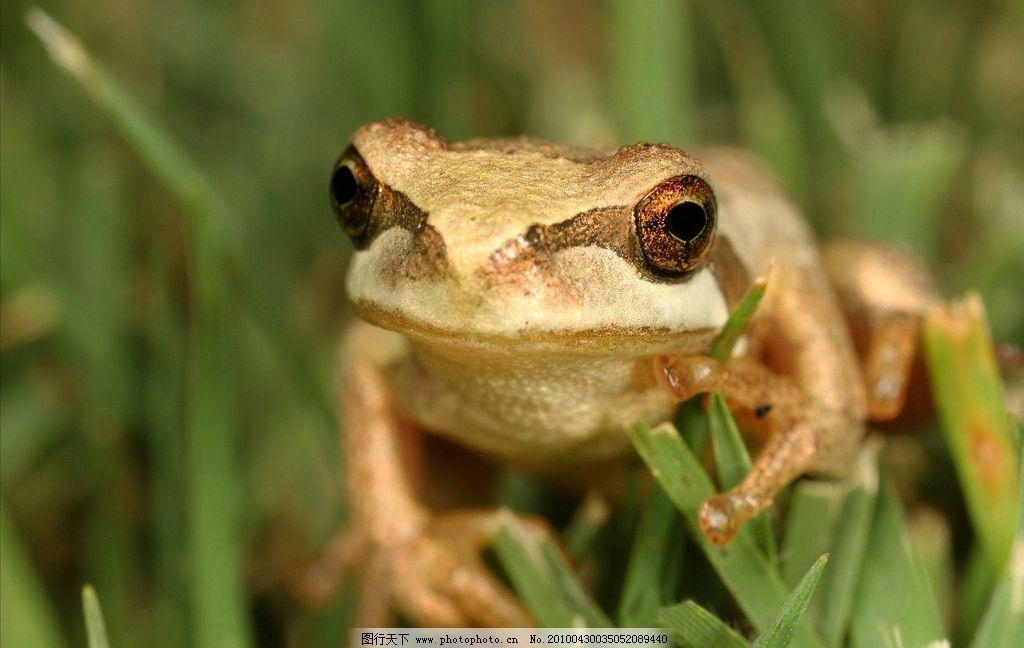 青蛙 蛙 树蛙 两栖动物 野生动物 生物 动物 图库 摄影 高清 生物世界