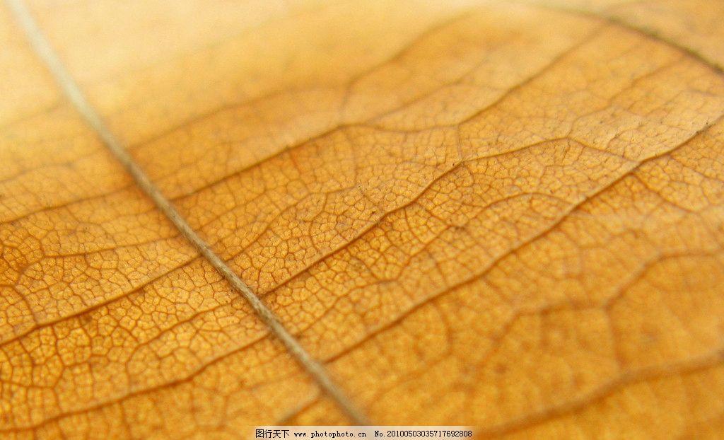 叶子的纹路图片