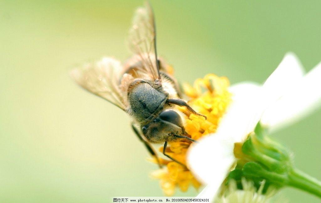 蜜蜂 采蜜 昆虫 春天 勤劳 花 虫子摄影 蜂 花粉 微距 微距摄影 生物