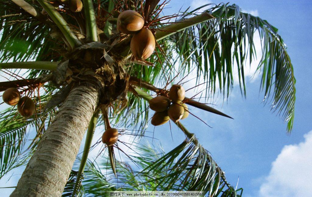 椰树 椰子 椰果 蓝天 白云 树木树叶 生物世界 摄影 2700dpi jpg