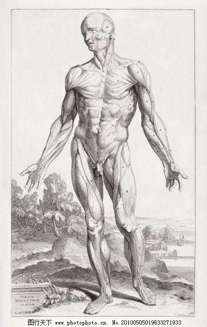 手绘肌肉展示图