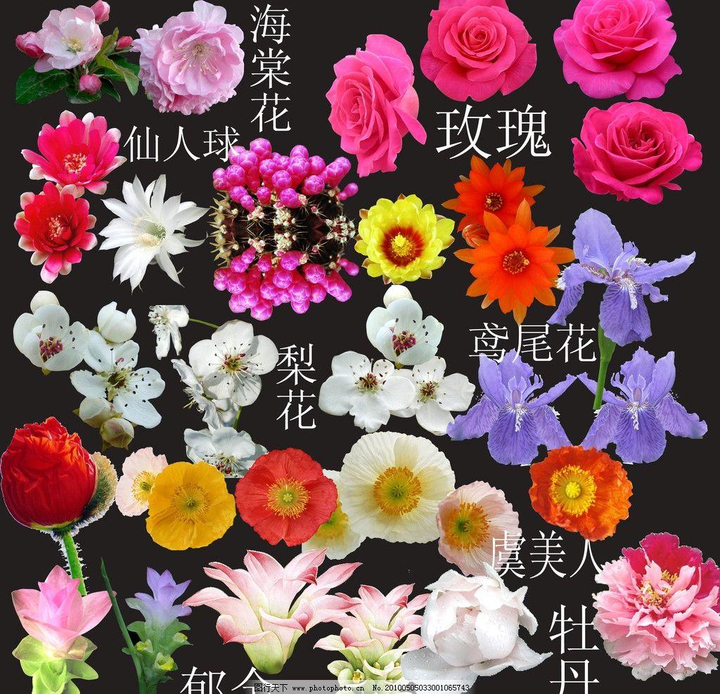 花卉大全 花朵 大花 红花 牡丹 海棠花 玫瑰 仙人球花 郁金