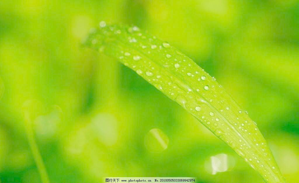 叶上的水珠 池塘 春天 花草 晶莹 露水 绿叶 摄影 生物世界