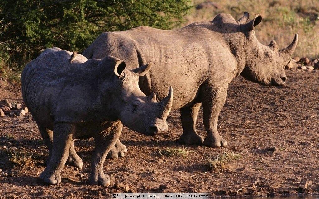犀牛 动物 野生动物 生物世界 摄影 72dpi jpg