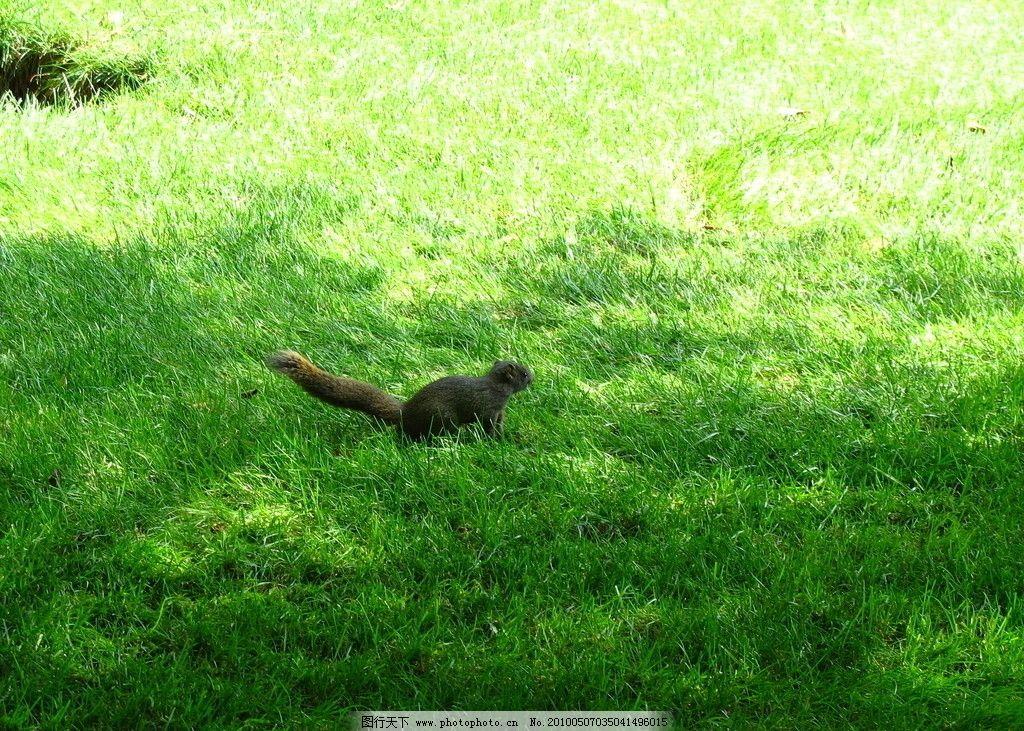 小松鼠 草地 绿草 可爱小动物 摄影
