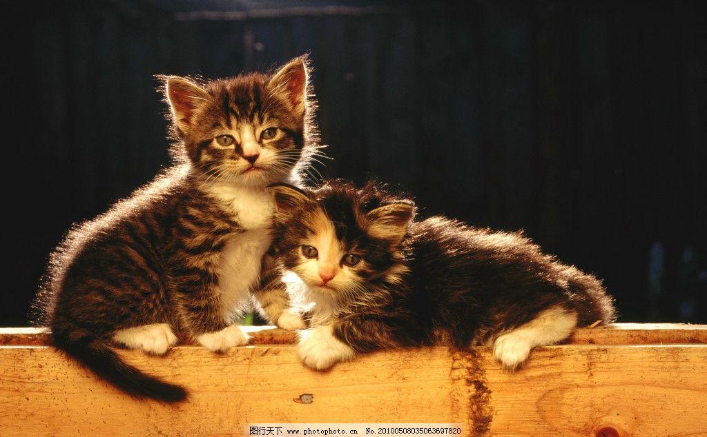 猫咪 猫 小猫 高清猫咪 野生动物 生物世界 摄影 300dpi jpg
