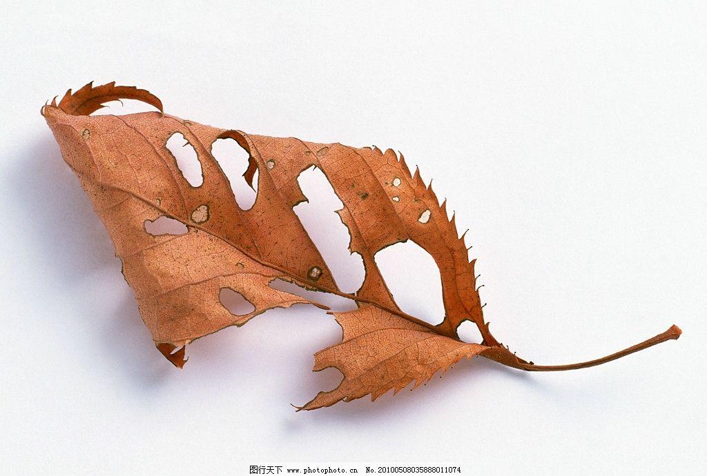 枯叶 叶子 树叶 飘落的叶子 秋天的叶子 落叶 枯黄 秋天到了
