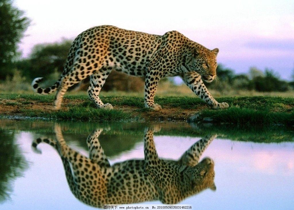豹子 斑点 豹纹 倒影 水泊 野生动物 生物世界 摄影