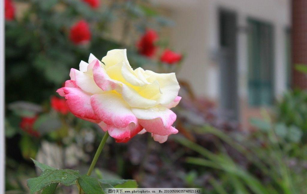 月季花 花卉 大图 清晰 效果 花纹 花草兰花 红色 花朵 花束文化艺术