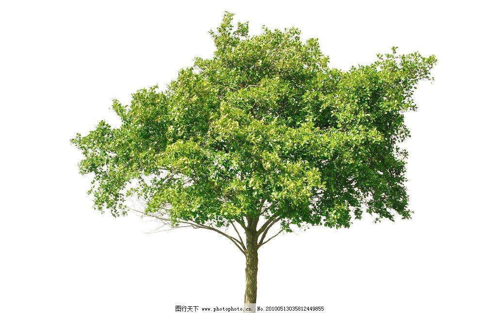 设计图库 生物世界 树木树叶  白底大树高清图片 树木 大树 白底 高清
