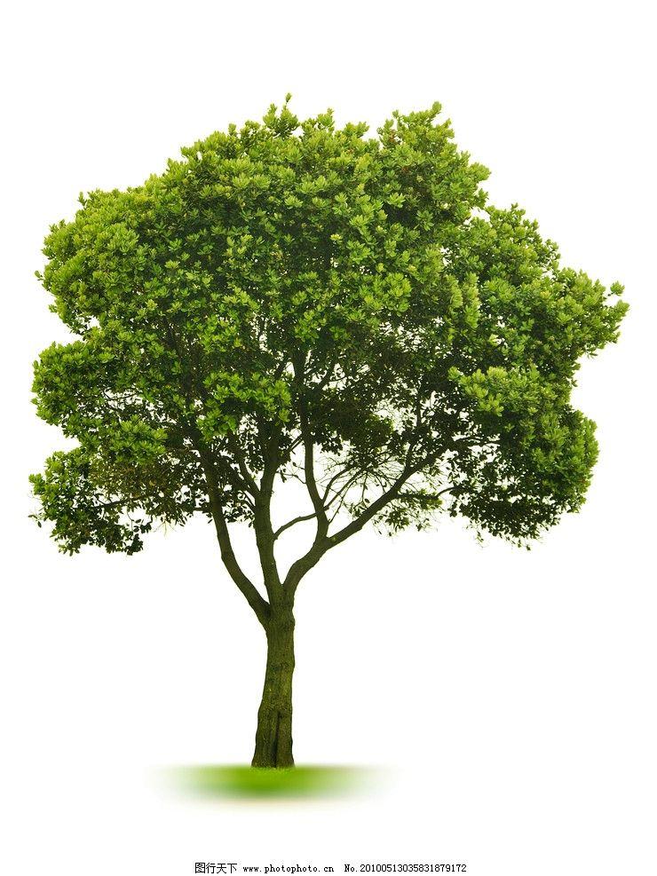 白底大树高清图片