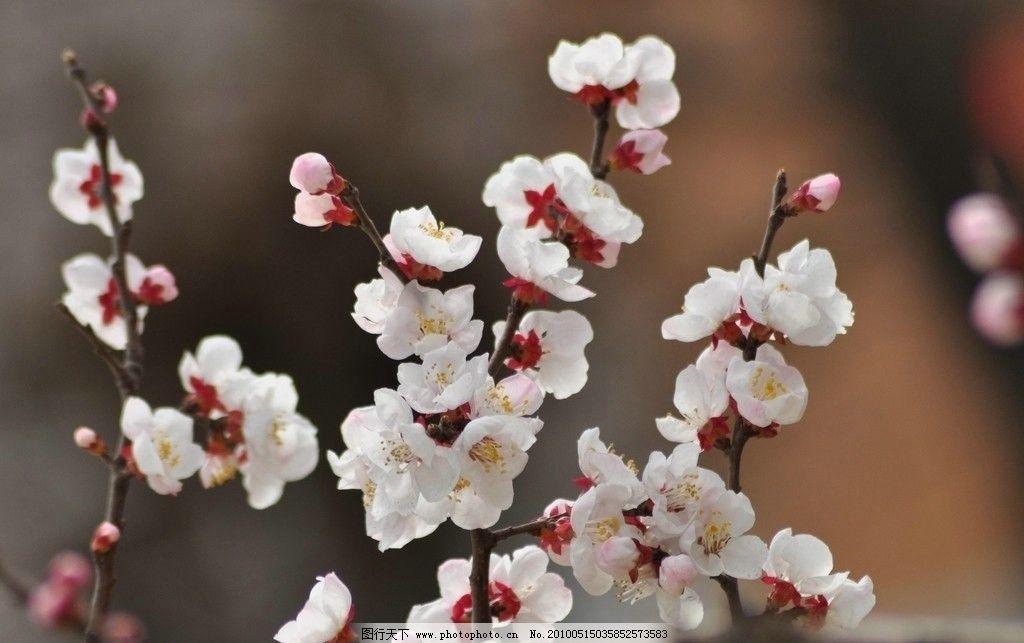 梅花 冬天 树枝图片
