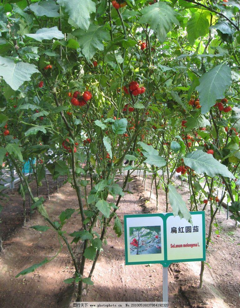 蕃茄树的简笔画