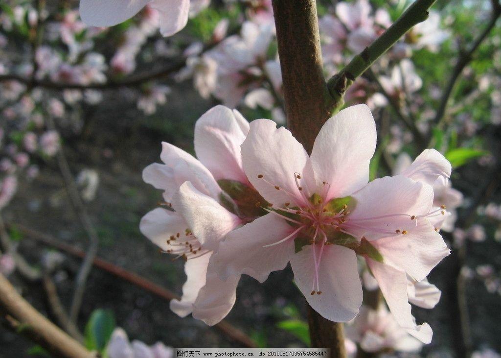 桃花 胜开 树 桃树 风景 背景 壁纸 桃园 特写 微距 树枝