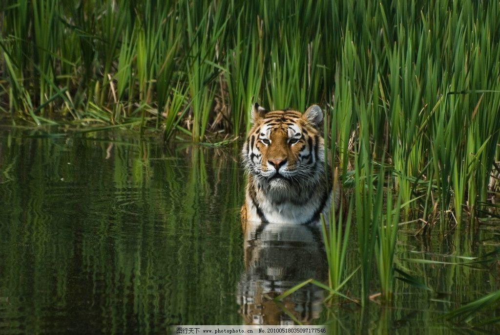 水中老虎 野生动物 水中 老虎 芦苇 倒影 生物世界 摄影 300dpi jpg