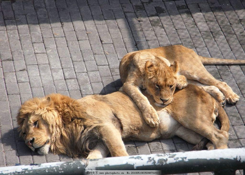 狮子 动物园 公狮子 母狮子 睡觉 倦态 威武 野生动物 生物世界 摄影