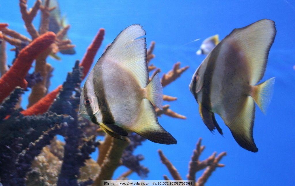 热带鱼 鱼 海洋生物 海洋 生物 鱼类 彩色 生物世界 摄影 300dpi jpg