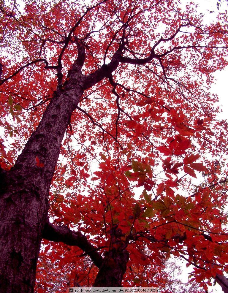 红树 红杉树 森林 树木 大树 天空 山水风景 自然景观 摄影 72dpi jpg