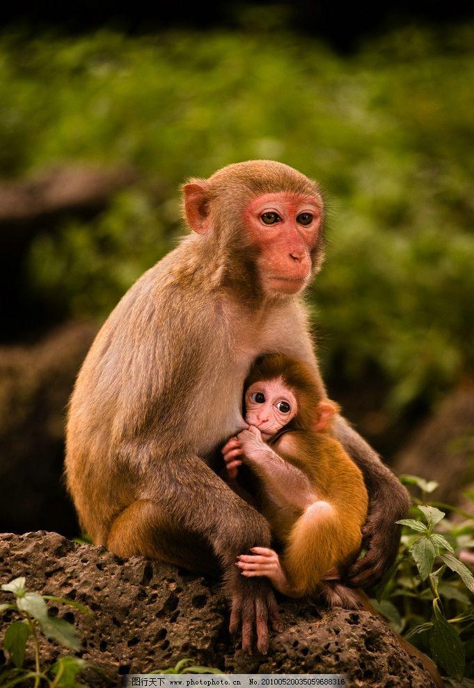 猴子挖鼻孔的简笔画
