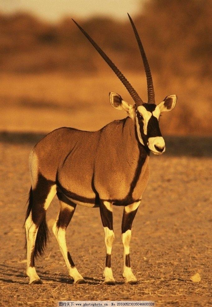 羚羊 野生动物 非洲草原 生物世界 摄影