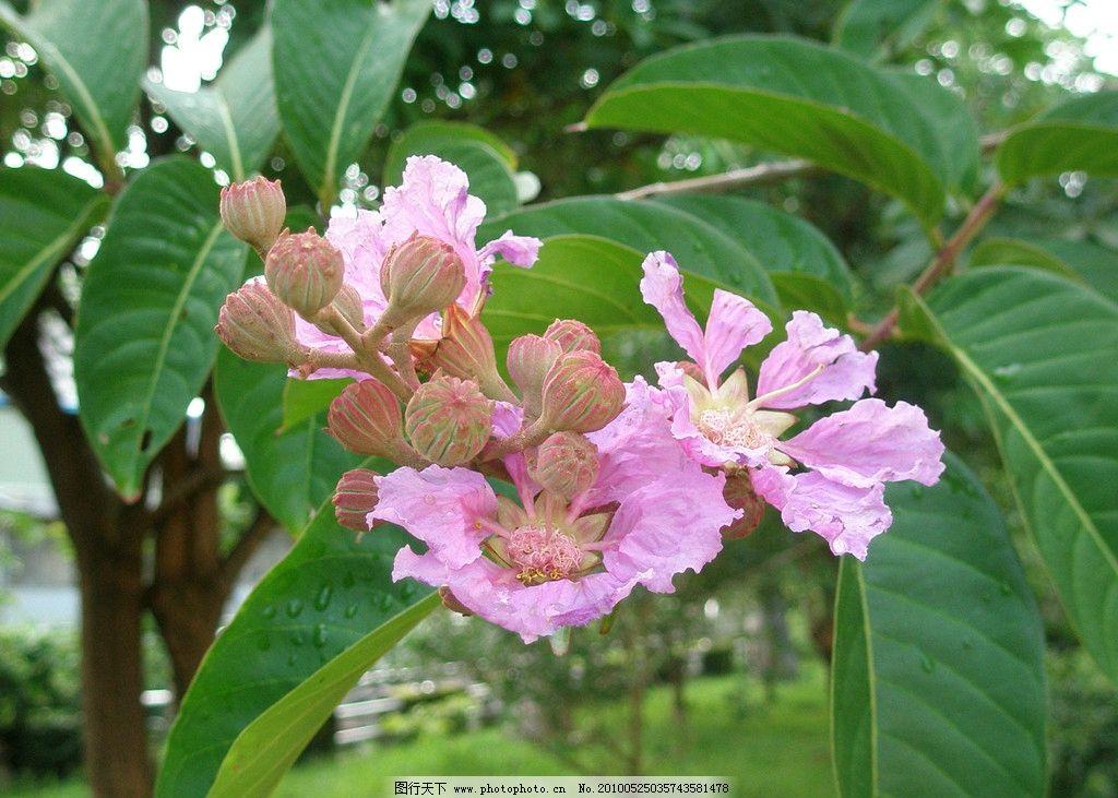 紫薇 紫薇花 花 花卉 花朵 花草 鲜花 花蕾 花树 生物世界 摄影 jpg