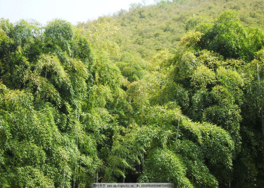 风景 竹林 山区 山上 竹子 山丘 春天 竹海 摄影
