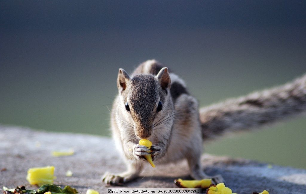 吃食物的鼠 老鼠 鼠 鼠类 哺乳动物 吃 动物 野生动物 生物世界 摄影