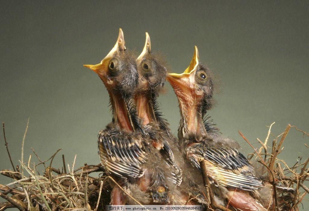 生物世界 家禽家畜  三只饥饿的雏鸟图片 饥饿 雏鸟 鸟窝 动物 张嘴
