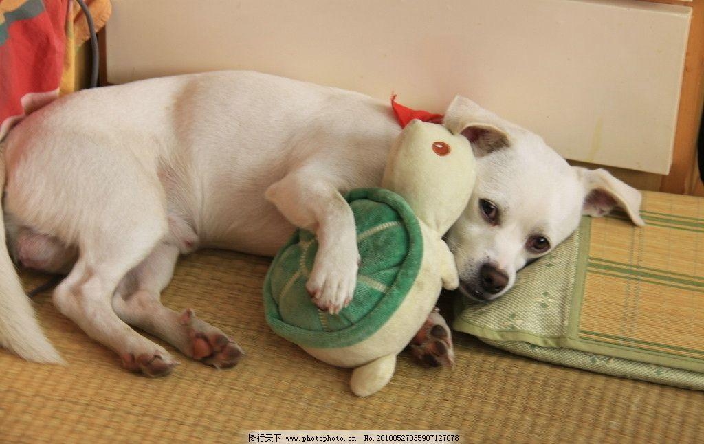 抱着玩具睡觉的狗狗 玩具 狗狗 睡觉 宠物 乌龟 小白 一只狗狗名叫墩