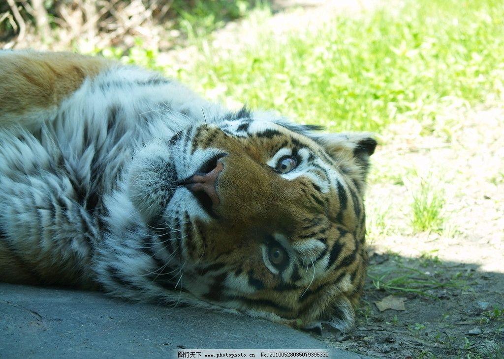 老虎 小老虎 可爱的 公园 动物 野生动物 生物世界 摄影