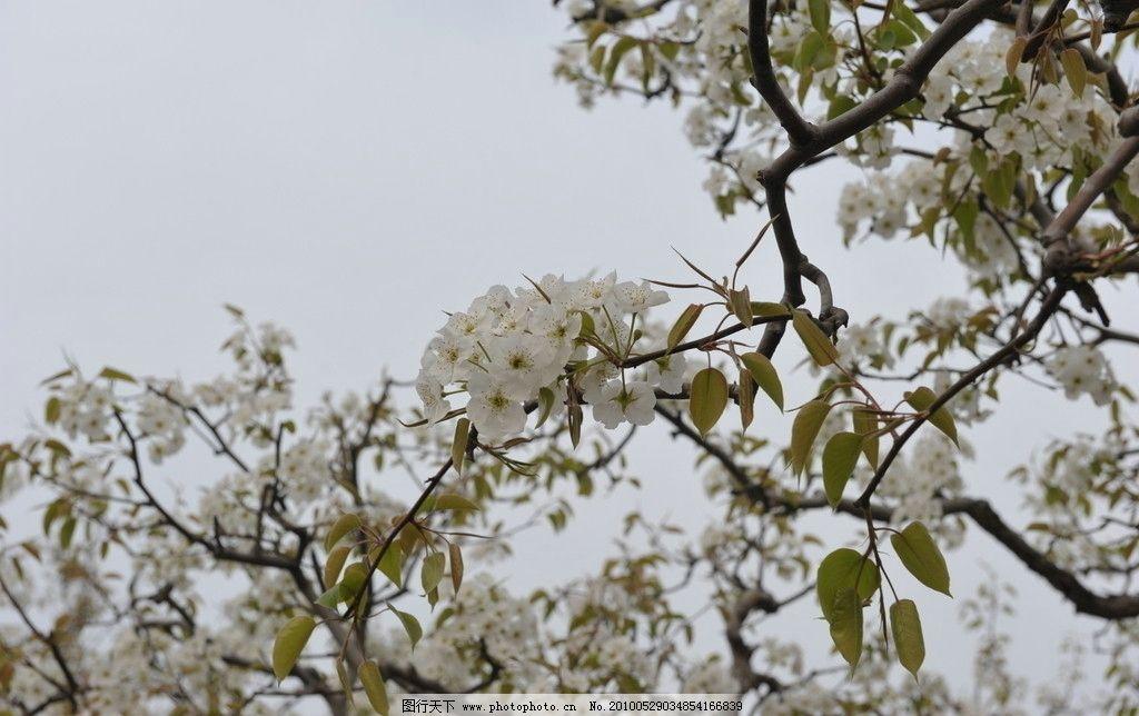 梨花 梨树 梨花节 宁陵梨树 梨园 自然风景 自然景观 摄影 300dpi jpg