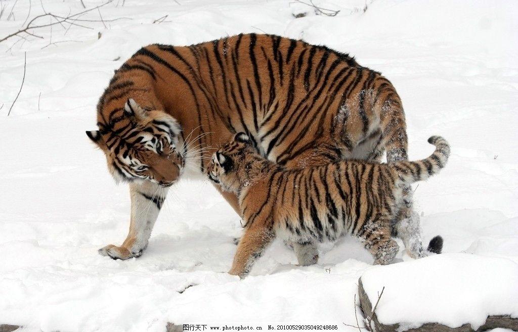 东北虎 野生动物 兽中之王 树林 雪地 虎崽 生物世界 摄影