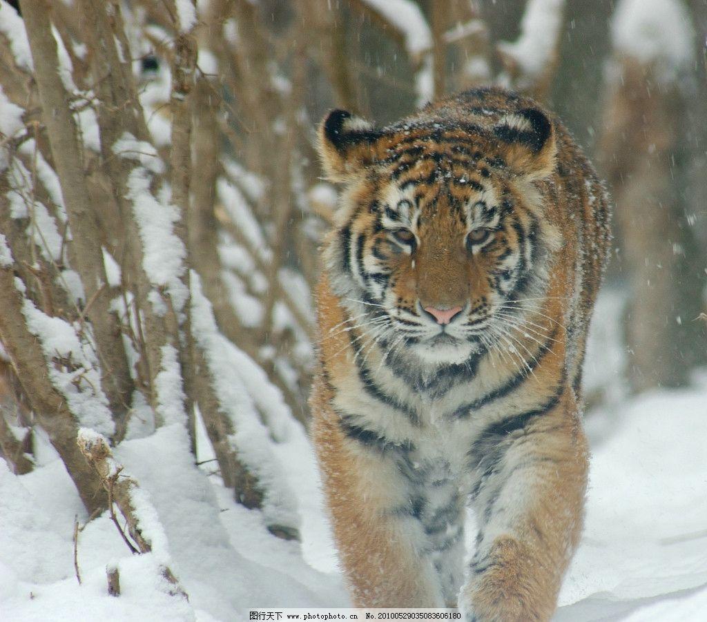 东北虎 野生动物 兽中之王 树林 雪地 生物世界 摄影