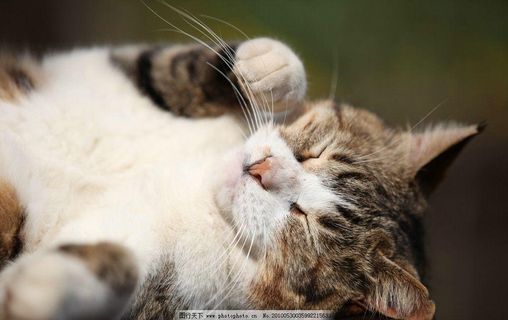 花猫 猫 小猫 猫咪 猫猫 喵喵 可爱 爪子 胡须 家禽家畜 生物世界