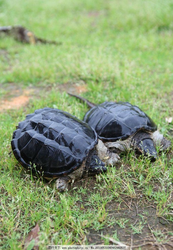 乌龟 龟 海龟 野生动物 生物世界 摄影 食物原料 餐饮美食 72dpi jpg
