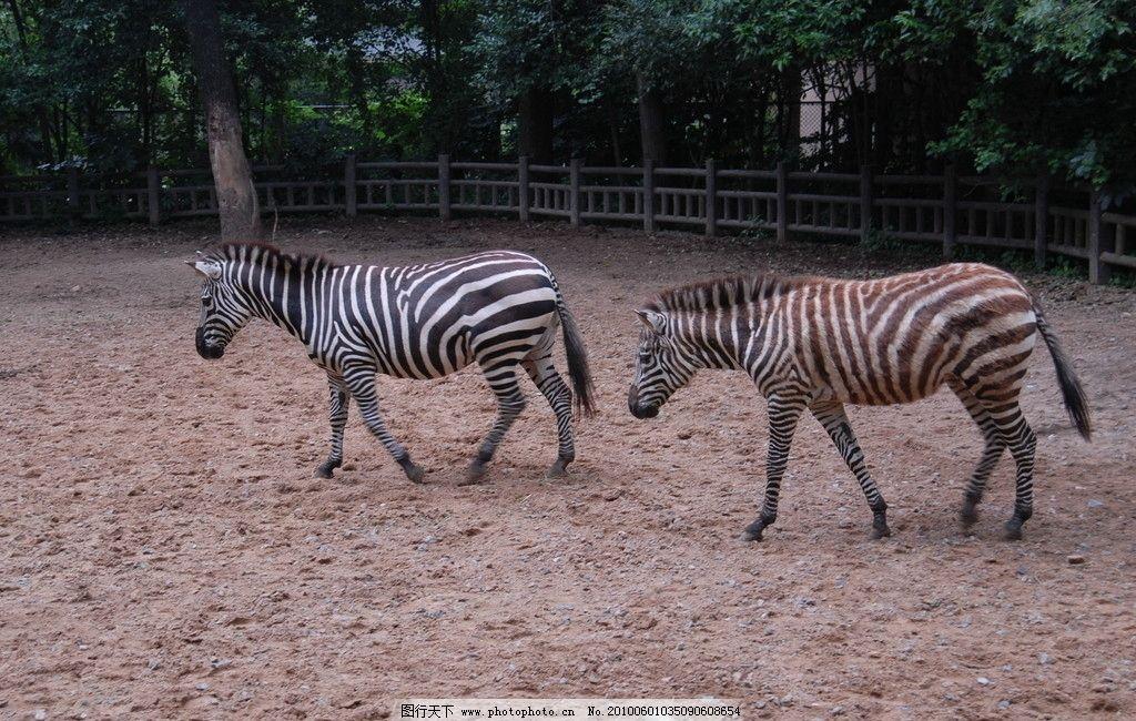 斑马 动物 围栏 可爱的动物 摄影