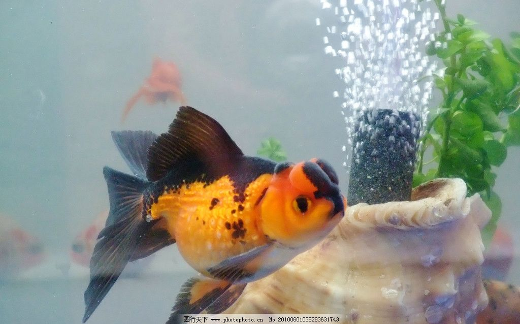 小金鱼 可爱 游泳 气泡 水草 鱼缸 悠闲自得 鱼类 生物世界 摄影 72dp