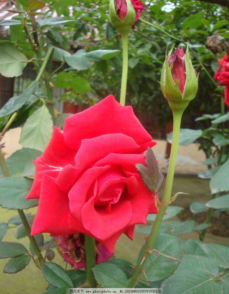 玫瑰花素材 玫瑰 真实 红玫瑰 花草 生物世界 摄影 72dpi jpg图片