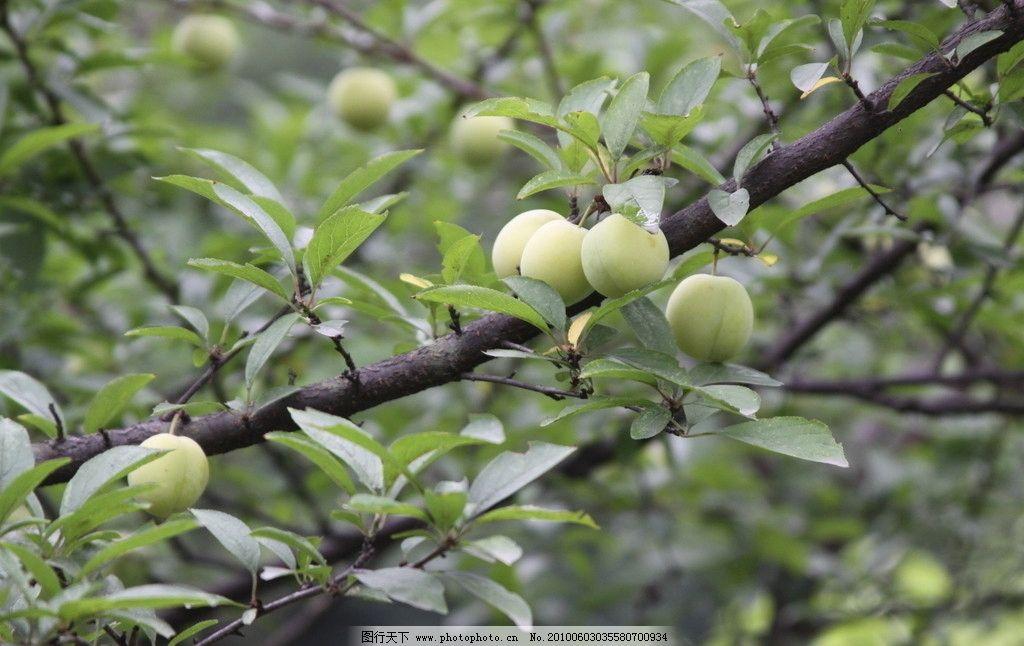 海棠果 海棠树 果实 水果