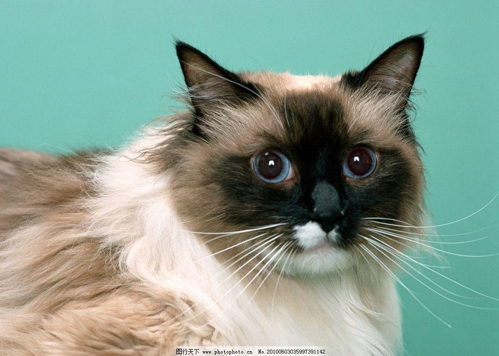 猫咪 毛发 懒散 宠物 狗 衷心 可爱 喜欢 咪咪 爪子 生物