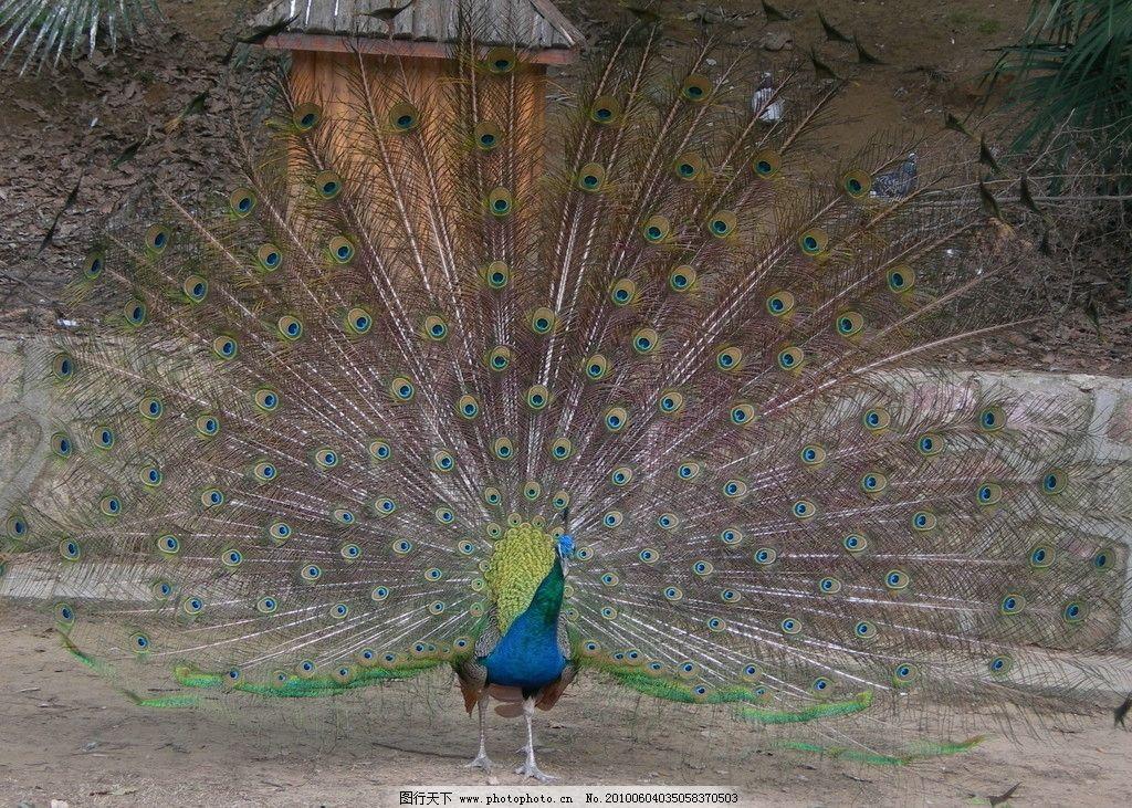 孔雀开屏 动物园 孔雀 野生动物 生物世界 摄影 300dpi jpg