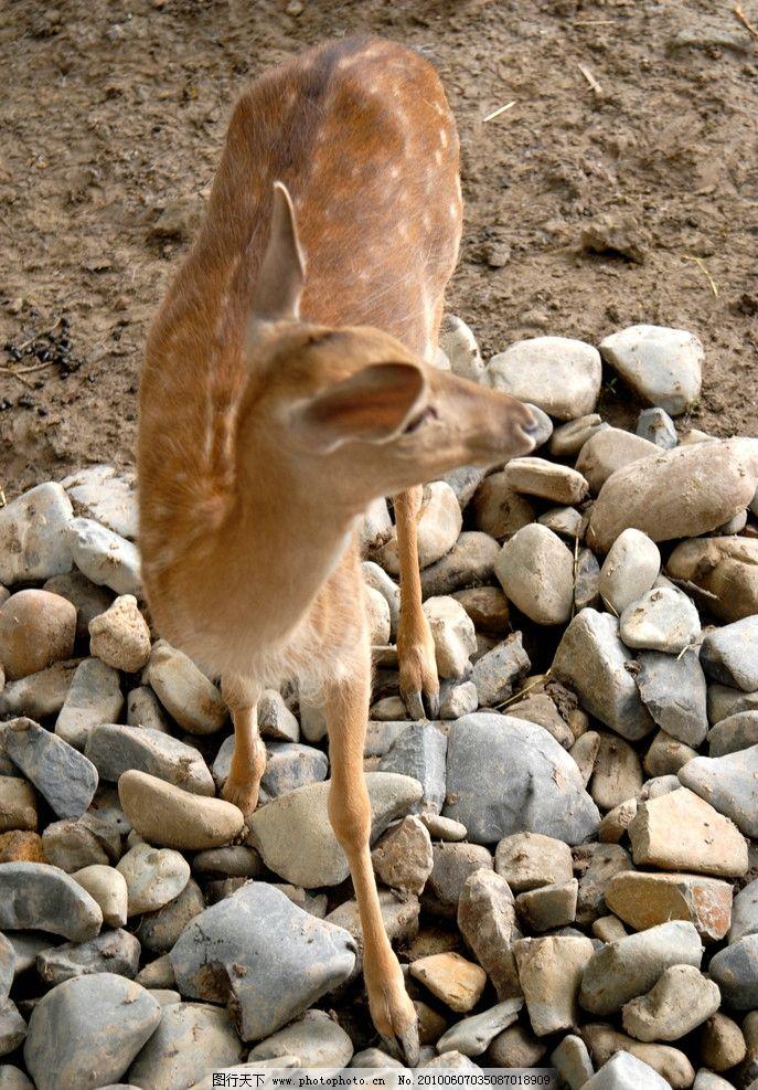 鹿回头 鹿 野生动物 可爱的动物 生物世界 摄影 300dpi jpg
