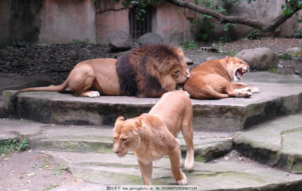 狮子 野生动物 雄狮 母狮 可爱的动物 生物世界 摄影 300dpi jpg