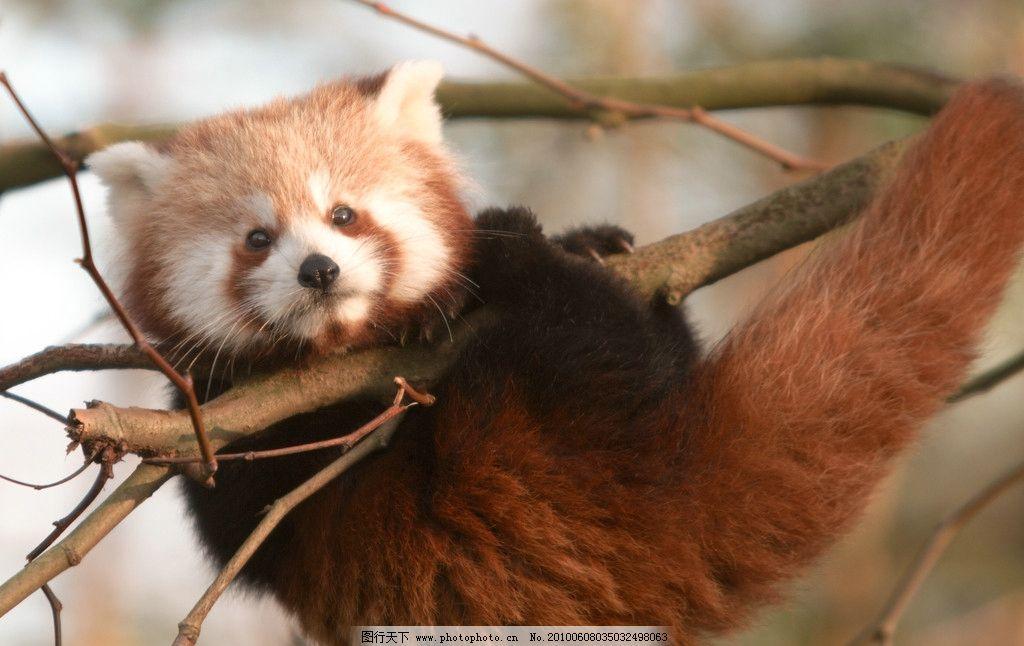 树枝上的狸猫图片
