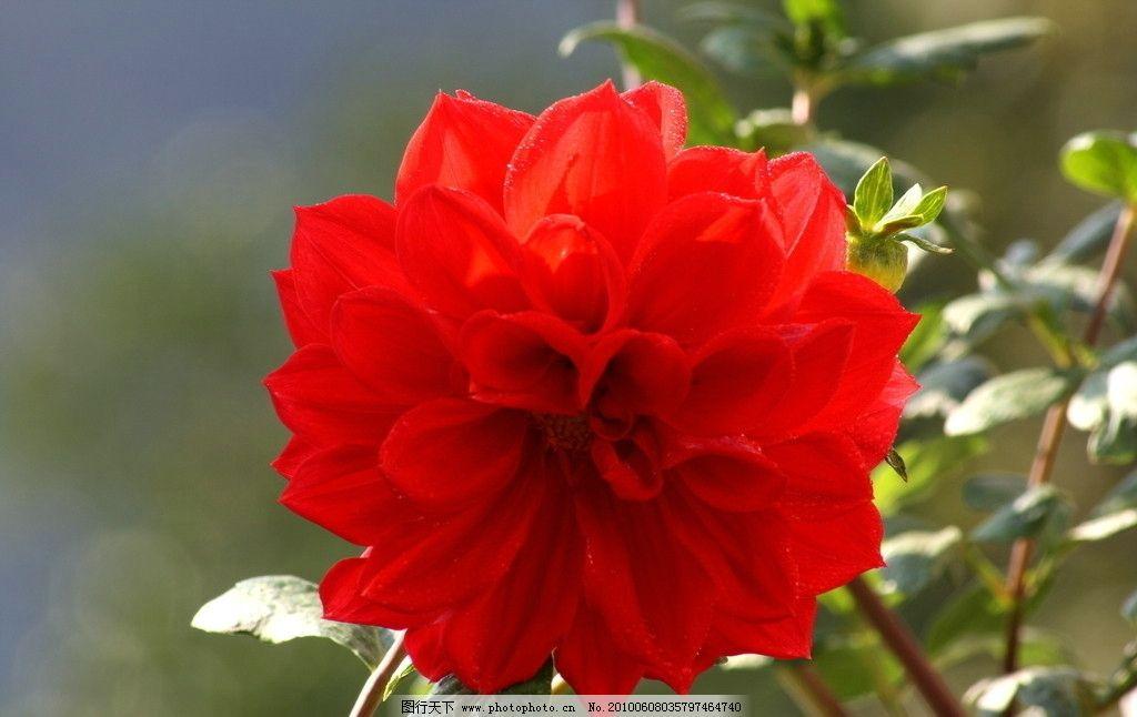 花朵特写 大红花 鲜艳的花 露珠 绿叶红花 一朵花 花草 生物世界 摄影