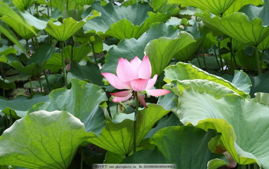 荷花塘 池塘图片