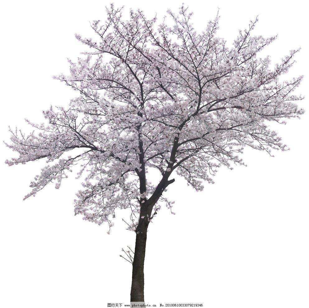 樱花 花树 色叶树 单棵树 大树 日本樱花 樱花树 风景园林景观素材