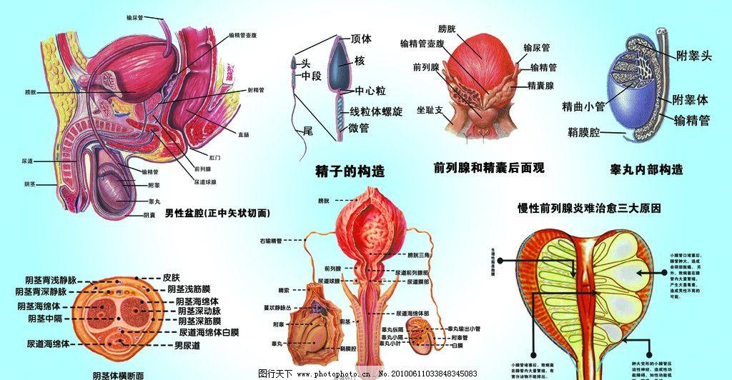 梦见男人生殖器管