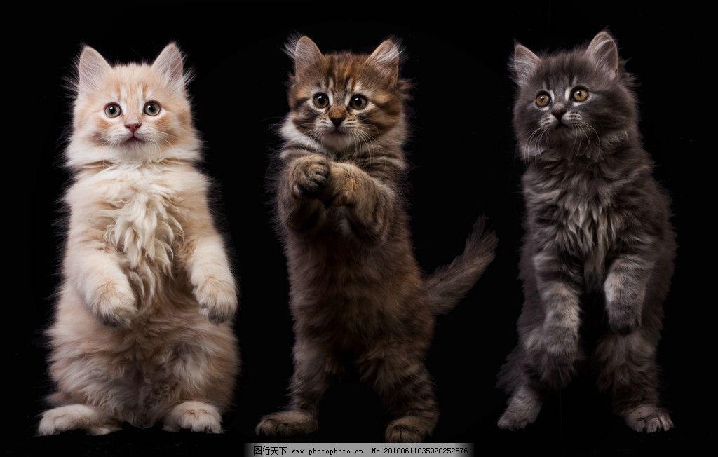 三只可爱的小猫 可爱 小猫 人立 宠物 猫 拜年 高清 家禽家畜 生物